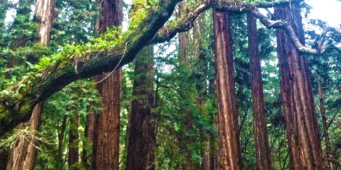 Muir Woods, California, USA